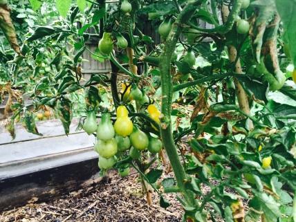 Yellow Pears